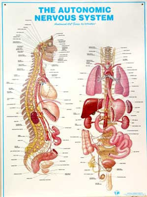 AUTONOMIC NERVOUS SYSTEM - Laminated