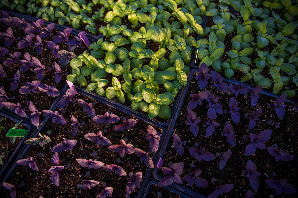 Basil: Our Aromatic Herbal King