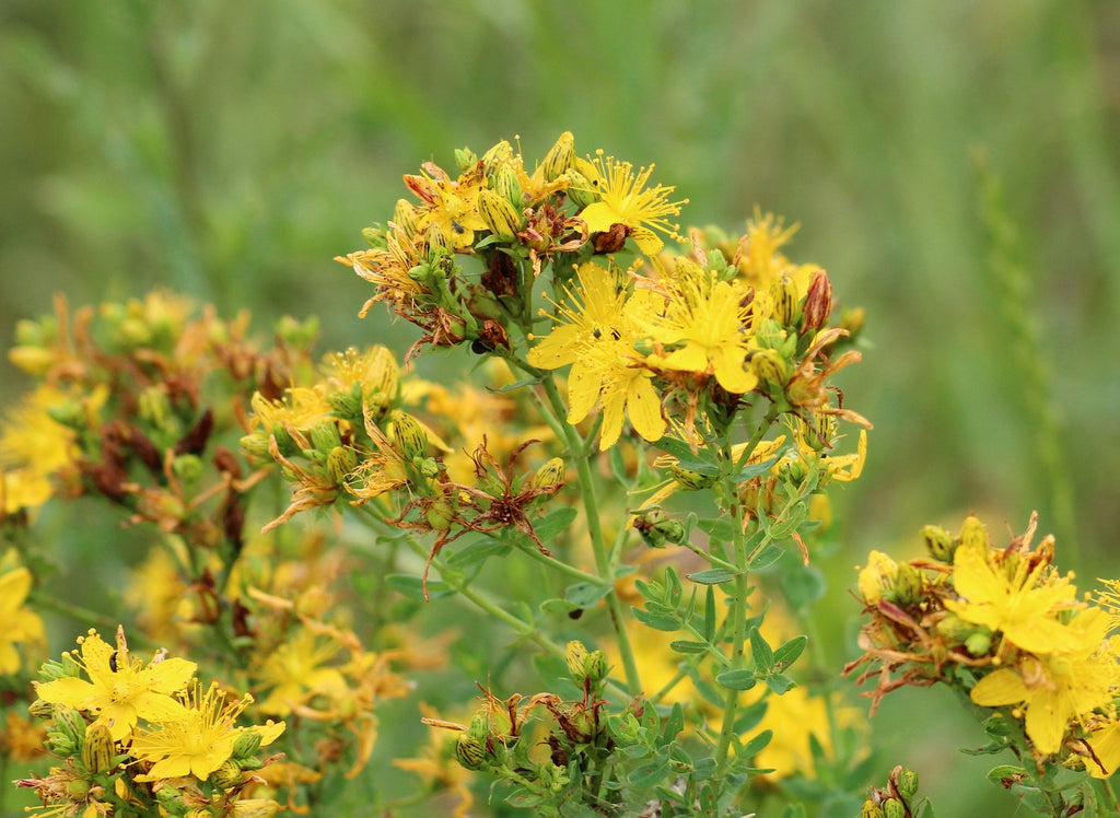 St. John's Wort...An herb for restoring your Inner Light and Nervous System Support