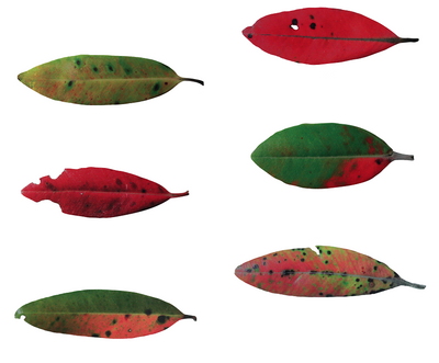 Set of 6 Aluminium Pohutukawa Leaves