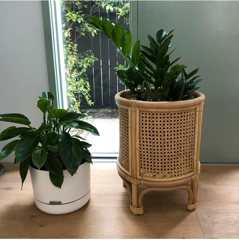 Two potted indoor plants in a white and rattan planter