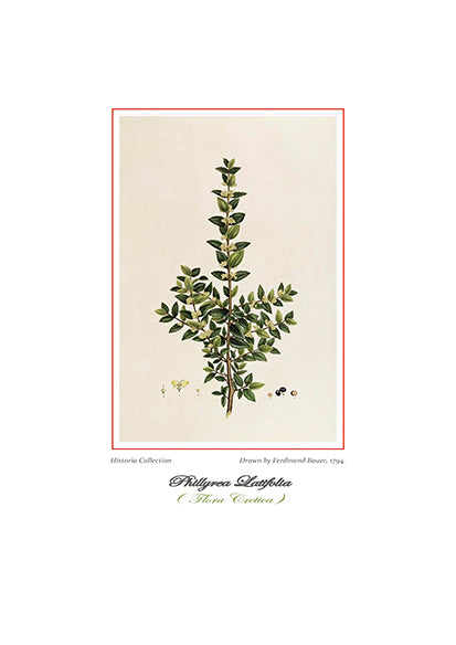Ferdinand Bauer: Phillyrea Latifolia-Ariston Books