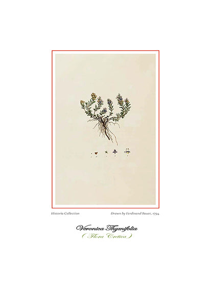 Ferdinand Bauer: Veronica Thymifolia-Ariston Books