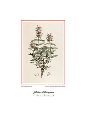 Ferdinand Bauer: Salvia Pomifera-Ariston Books