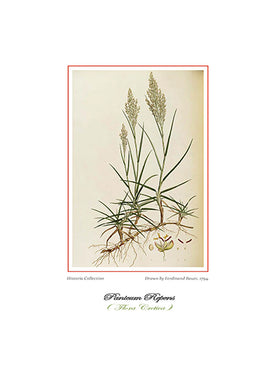 Ferdinand Bauer: Panicum Repens-Ariston Books