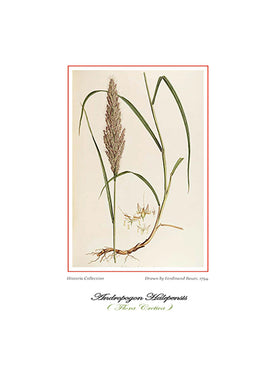 Ferdinand Bauer: Andropogon Halepensis-Ariston Books