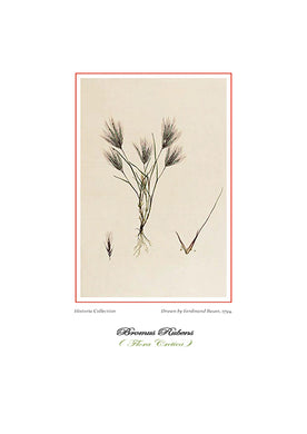 Ferdinand Bauer: Bromus Rubens-Ariston Books