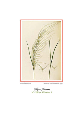 Ferdinand Bauer: Stipa Juncea-Ariston Books