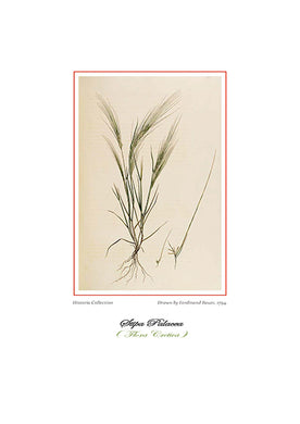 Ferdinand Bauer: Stipa Palacea-Ariston books
