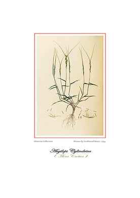 Ferdinand Bauer: Aegilops Cylindrica-Ariston Books