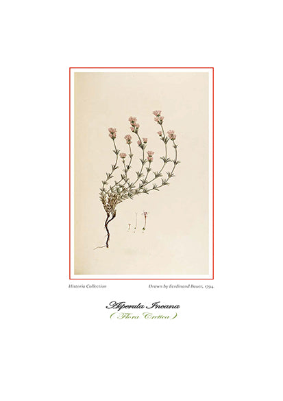 Ferdinand Bauer: Asperula Incana-Ariston Books
