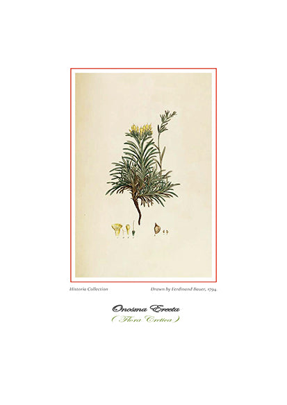 Ferdinand Bauer: Onosma Erecta-Ariston Books