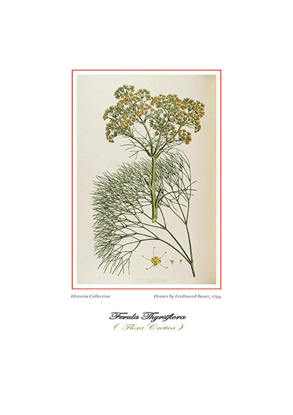Ferdinand Bauer: Ferula Thyrsiflora-Ariston Books