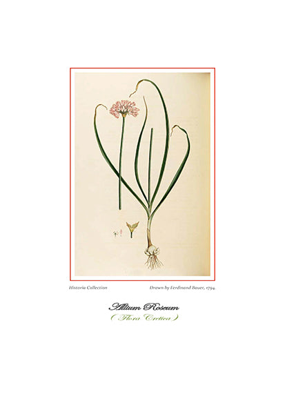 Ferdinand Bauer: Allium Roseum-Ariston Books
