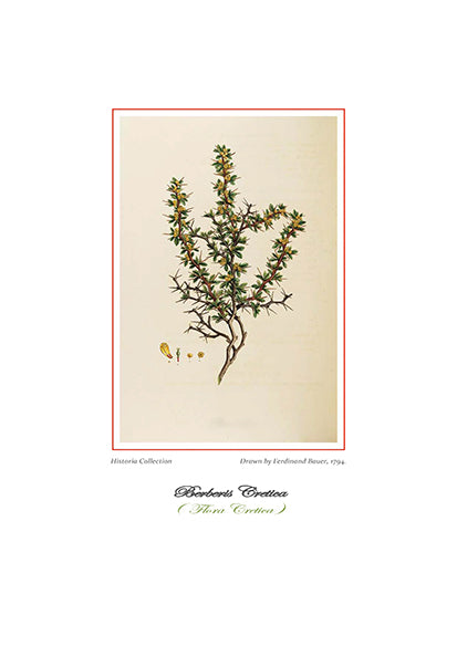 Ferdinand Bauer: Berberis Cretica -Ariston Books