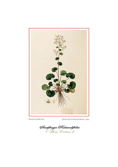 Ferdinand Bauer: Saxifraga Rotundifolia-Ariston Books