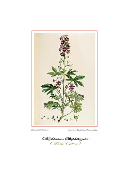 Ferdinand Bauer: Delphinium Staphisagria-Ariston Books