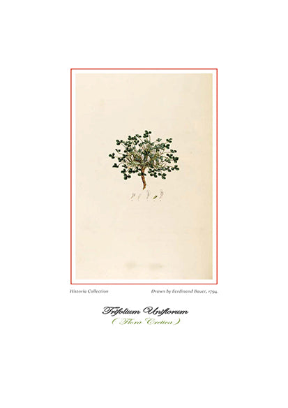Ferdinand Bauer: Trifolium Uniflorum-Ariston Books