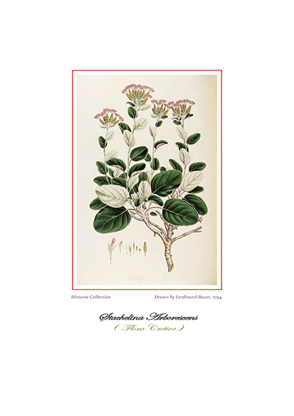 Ferdinand Bauer: Stachelina Arborescens-Ariston Books