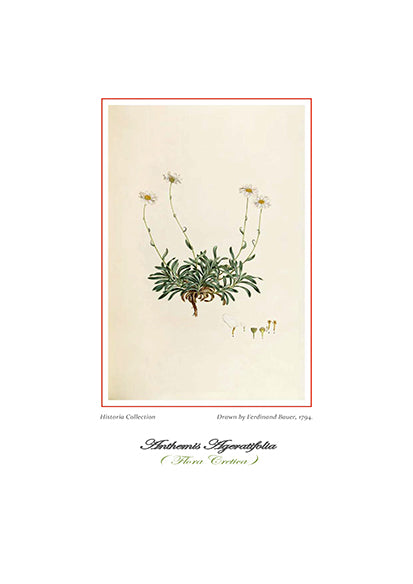 Ferdinand Bauer: Anthemis Ageratifolia-Ariston Books