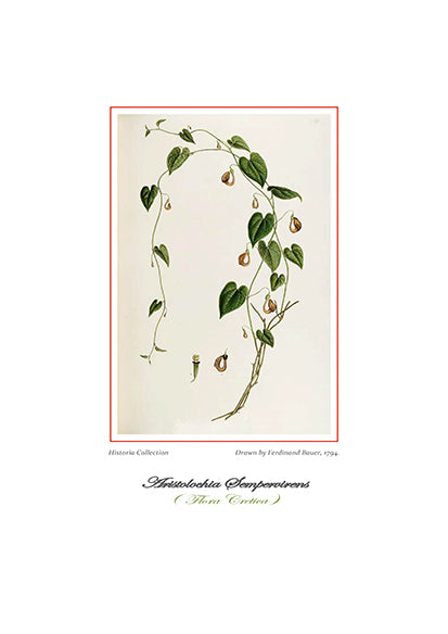 Ferdinand Bauer: Aristolochia Sempervirens-Ariston Books