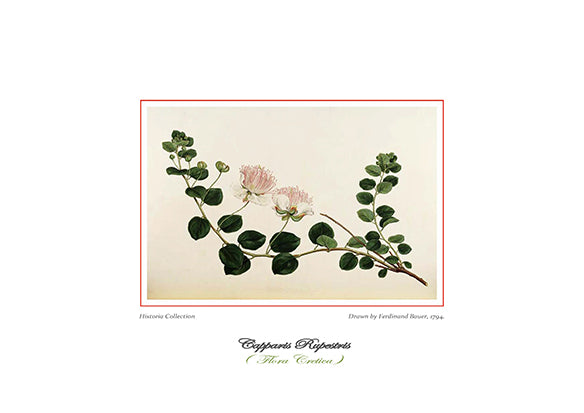 Ferdinand Bauer: Capparis Rupestris-Ariston Books