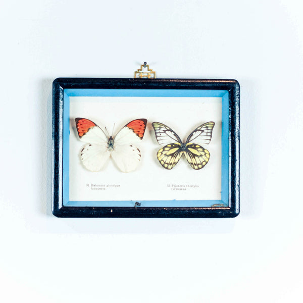 Oddhaus Vintage Decoration Luxembourg Naturalized Butterfly Taxidermy