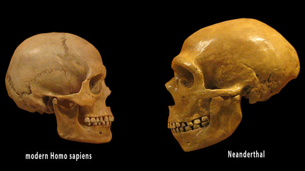 Homo sapiens skull compared to Neanderthal skull