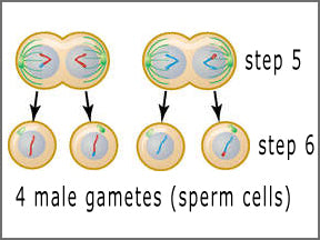 last stage of meiosis for human males