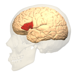 Broca area of brain