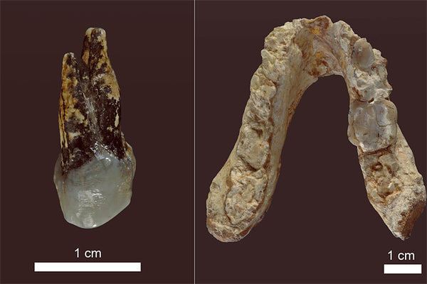 Graecopithecus freybergi fossil remains