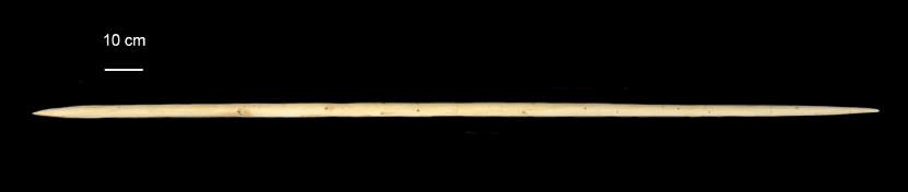 neanderthal spear