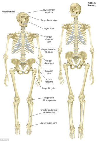 neanderthal and human skeleton comparison chart