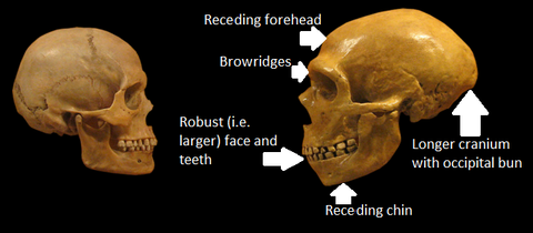 neanderthal and human skull comparison