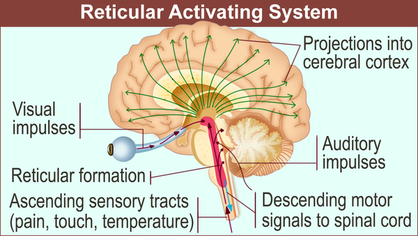 picture of the reticular activating system