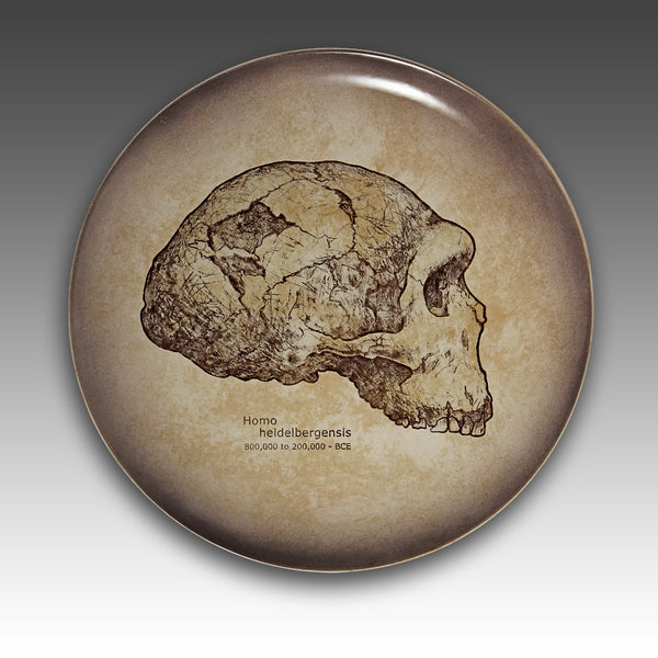 Homo heidelbergensis or Heidelberg Man Skull side view.