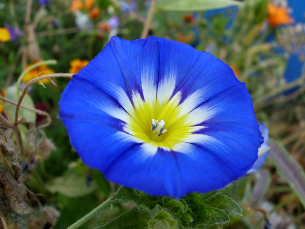 11th anniversary flower morning glory