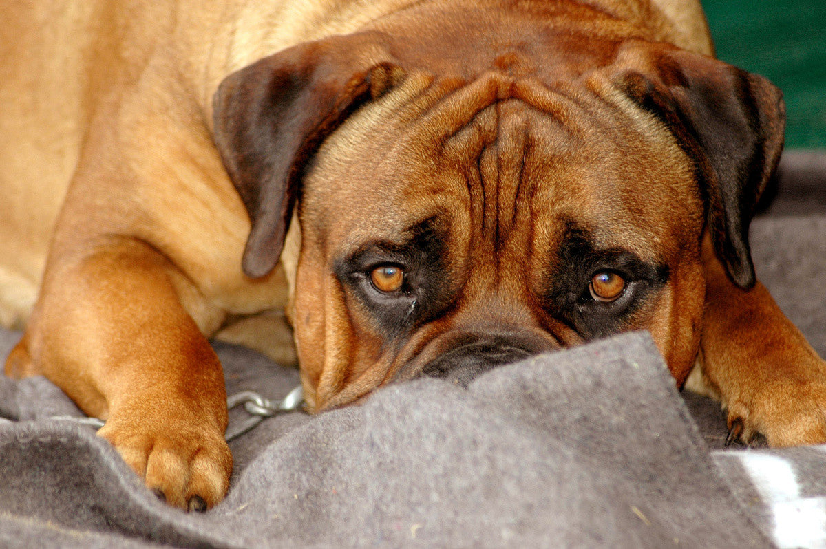 Dog Anxiety – Finding Relief for Anxious Dogs