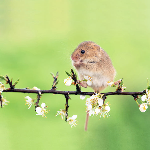 Field Mouse Blossom