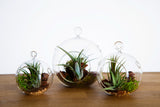 p Air Plant Fantasies