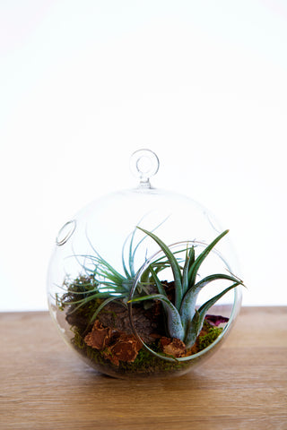 Fantaisies de tillandsia