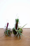 Air Plant Fantasies