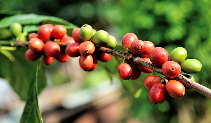 The History of Coffee - Part 1