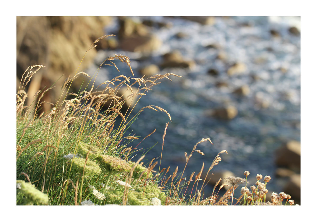 Grasses on Clifftops - Cornwall