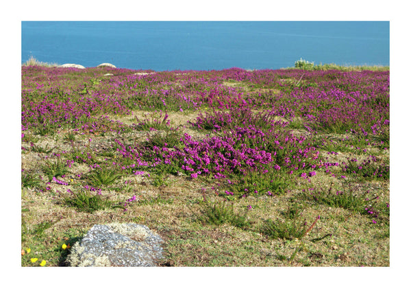 Heather on Coastal Path in Cornwall
