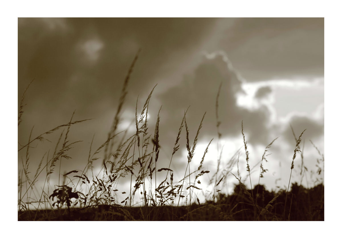 Wild Grasses on Hedgerow- Cornwall