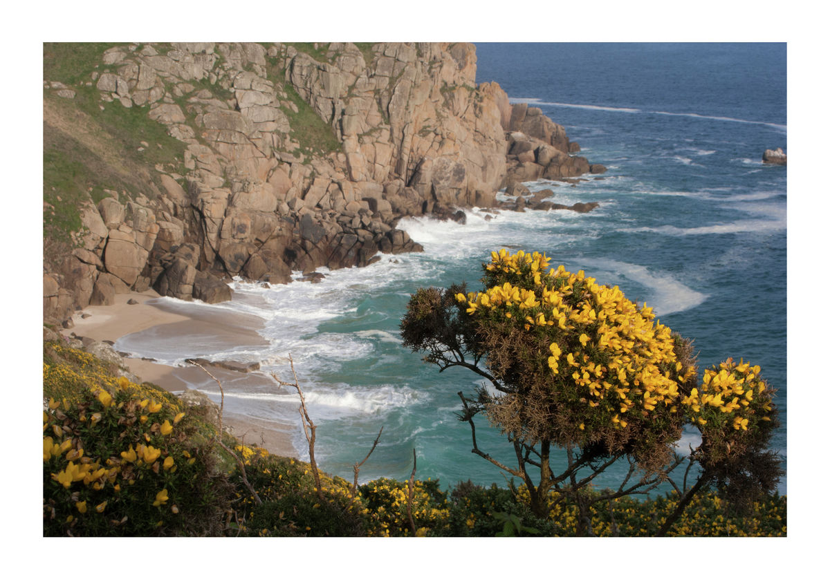 Gorse Bush on Cliffs at Porthchapel Beach in Cornwall