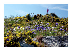 Wild Flowers on Clifftops at Porthcurno - Cornwall