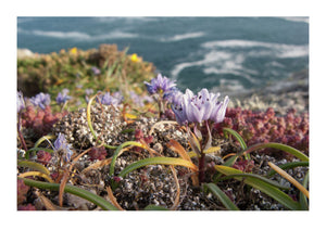 Spring Squill on Clifftops in Cornwall