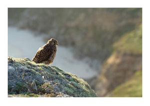 A Young Kestral Sits On Cliffs at Porthchapel Beach